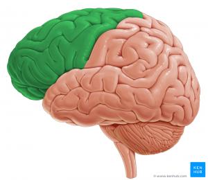 Frontallappen des Gehirns